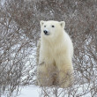 Polar bear portrait. — Foto de Stock