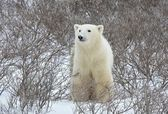 北极熊肖像. — 图库照片