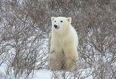 Isbjörn porträtt. — Stockfoto