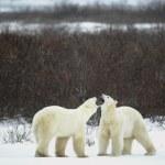 Dialogue of polar bears — Stock Photo