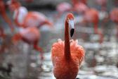 Portrait of a flamingo. — Stock Photo