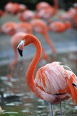 Portrait of a pink flamingo with drops. — Stock Photo