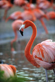 Portrait of a flamingo. — Stock Photo