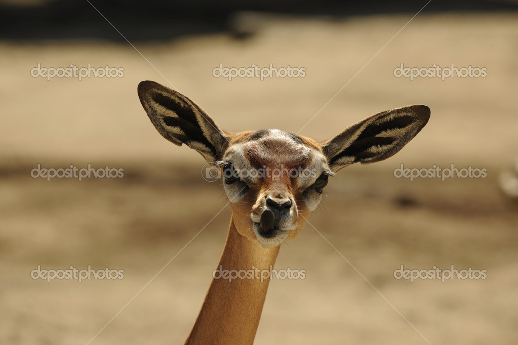 The Gerenuk (Litocranius walleri), also known as the Waller's Gazelle — Stock Photo #4819029
