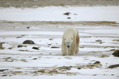 Going polar bear. — 图库照片