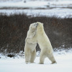 Polar bears fight. — Stock Photo