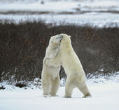 Polar bears fight. — 图库照片