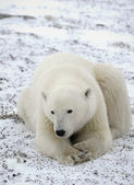 Portrait of a polar bear — 图库照片
