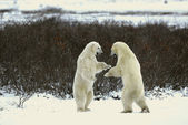 Fight of polar bears. 18 — Stock Photo