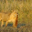 Lioness with prey. - Stock fotografie
