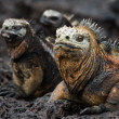 Stock Photo: Portrait of marine iguanas with relatives.