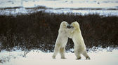 Fight of polar bears. — Stock Photo
