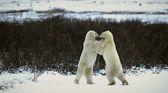 Strijd van ijsberen. — Stockfoto