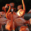 Flamingo on a sunset. — Stock Photo #4993844