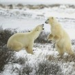 Fight of polar bears. — Foto Stock