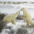 Fight of polar bears. — Foto de Stock