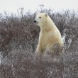 The polar bear — Stockfoto