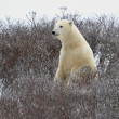 The polar bear — Stock fotografie