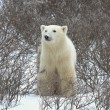 Polar bear. — Stock Photo #4999790