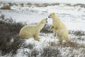 Fight of polar bears. — 图库照片