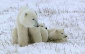 Polar she-bear with cubs. — Stock Photo