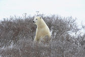 The polar bear sniffs. — Stok fotoğraf