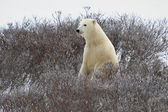 De polar bear — Stockfoto