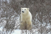 Polar bear. — Foto de Stock