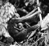 Bonobo with a cub — Stock Photo