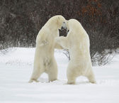 Fighting polar bears. — Stock Photo