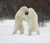 Walka niedźwiedzi polarnych. — Zdjęcie stockowe