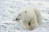一只北极熊的肖像. — 图库照片