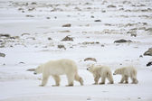 Polar she-bear with cubs. — Foto Stock
