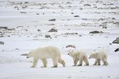 Polar she-bear with cubs. — Stock Photo
