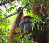 The adult male of the Orangutan. — Stock Photo