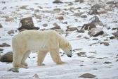 Isbjörn spår — Stockfoto