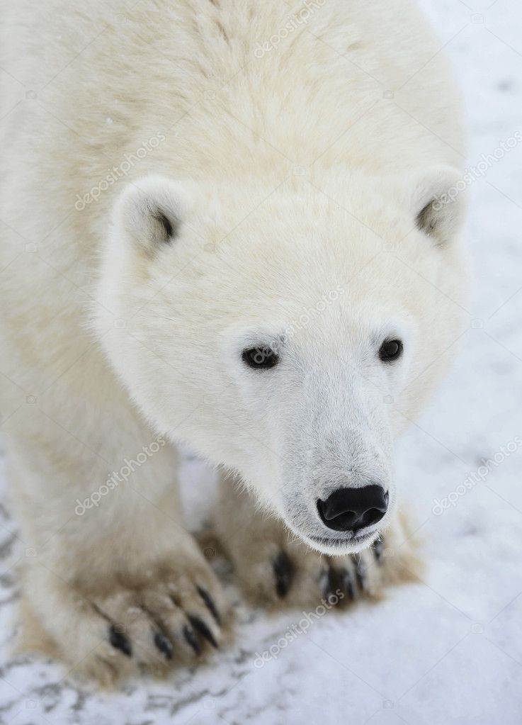 Polar bear. A portrait close up at a short distance. — Stock Photo #5107839