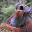 Stock Photo: Yawning Orangutan.