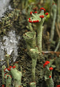 Reindeer lichen — Stock Photo