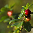 Cowberry — Stock Photo #5195958
