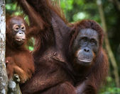 A female of the orangutan with a baby. — Stock Photo