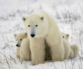 Polar hon-bear med ungar. — Stockfoto