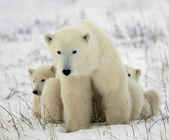 Polar she-bear with cubs. — Zdjęcie stockowe