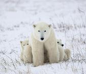 Polar dişi ayı yavruları ile. — Stok fotoğraf