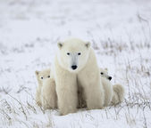 Polar she-bear with cubs. — Stok fotoğraf
