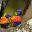 Colourful Rainbow Lorikeets — Stock Photo
