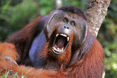 The male of the orangutan grimaces and yawns. — Stock Photo