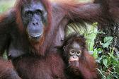 Une femelle de l'orang-outan avec un bébé. — Photo