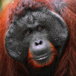 Alpha-male of the Orangutan. — Stock Photo