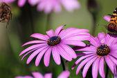 Flowers fuchsia — Stock Photo